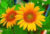 Yellow Sunflower Closeup Photo. Summer Meadow With Yellow Flowers. Open Daisy Flower Background. Bri poster