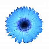 stock photo of daisy flower  - a blue daisy great for many uses - JPG