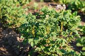 Bush Of Potatoes Is Growing. Potato Plantation. Field With Potato Bushes poster