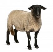 image of suffolk sheep  - Female Suffolk sheep - JPG