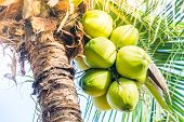 Green Coconut Fruit On Coconut Tree - Sunflare Filter Effect poster