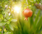 Ripe Pomegranate Fruit Hanging On A Treeripe Pomegranate Fruit Hanging On A Tree With Sunset Beams O poster