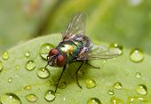 stock photo of blowfly  - Common green bottle fly  - JPG