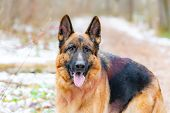 German Shepherd. Young Energetic Dog Walks In The Forest. poster
