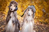 Two Stylish Afghan Hounds, Dogs, In Funny Fur Hats On The Background Of The Autumn Forest. Concept C poster