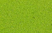 Duckweed Or Water Lentil