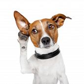 stock photo of cute animal face  - dog listening with big ears and looking to the side - JPG