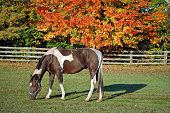 stock photo of paint horse  - Paint horse in a colorful pasture with wooden fence - JPG