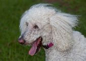 foto of standard poodle  - Standard sized white poodle that is on the grass panting - JPG