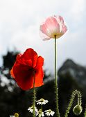 stock photo of opium  - Red And Pink Opium Poppy Flower  - JPG