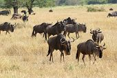 Herd Of Blue Wildebeests Moving