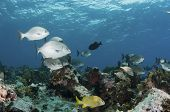 image of chub  - schools of fish swim over a coral reef off eleuthera - JPG