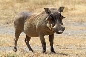 stock photo of tusks  - A warthog  - JPG