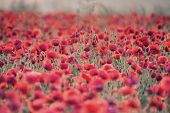 stock photo of differential  - Beautiful Summer sunrise countryside field of poppies landscape with differential focus and shallow depth of field