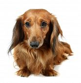 stock photo of long hair dachshund  - Dog long - JPG