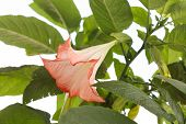 pic of datura  - datura flower - JPG