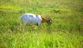 picture of headstrong  - Goat grazing in the green countryside, Slovenia