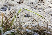 Frozen Grass In Winter