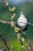 stock photo of mockingbird  - A Northern Mockingbird Perched in a Thorny Tree - JPG