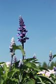 image of clary  - field of purple salvia flowers  - JPG