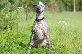 image of mexican-dog  - Xoloitzcuintle  - JPG