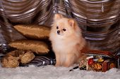 image of miniature pomeranian spitz puppy  - Beauty red pomeranian Spitz dog in luxury