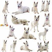 foto of swiss shepherd dog  - Purebred White Swiss Shepherd in front of white background - JPG