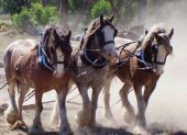 stock photo of clydesdale  - Team of clydesdales pulling wagon at Lang Lang Victoria Australia
