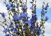 stock photo of chicory  -  bouquet of chicory flowers close up on blue sky                                           - JPG