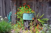pic of nasturtium  - Blue planter with orange nasturtium flowers in garden - JPG