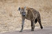 stock photo of hyenas  - Spotted Hyena (Crocuta crocuta) Walking Along Country Road in Kenya Africa