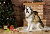 picture of malamute  - Sweet malamute dog sitting with christmas - JPG