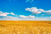 picture of ear  - Backdrop of yellow wheat ears field on the cloudy blue sky background - JPG