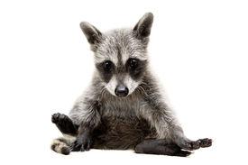 stock photo of raccoon  - Baby raccoon  - JPG