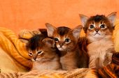 stock photo of three sisters  - Somali kittens three sisters in cosy plaid looking at camera - JPG