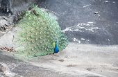 picture of female peacock  - Beautiful indian peacock with fully fanned tail