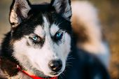 pic of puppy dog face  - Close Up Young Happy Husky Puppy Eskimo Dog Face - JPG