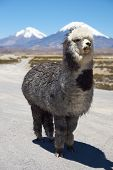 stock photo of alpaca  - Alpaca in Lauca National Park - JPG