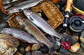 pic of trout fishing  - Wild trout spilling out of fishing creel with fly reel pole and late autumn leaves on wet river bed stones - JPG