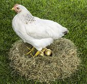 image of egg-laying  - Hen laying three golden eggs in nest - JPG
