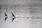 stock photo of water bird  - Two coots sprinting on the lake. Water birds fighting and running on the water.