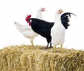 image of hay bale  - Black rooster with two hens on bale of hay - JPG