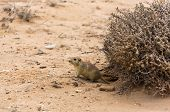 stock photo of rats  - rat crawled out of a hole in the desert - JPG