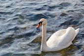 Постер, плакат: Swan In The Water