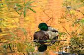 stock photo of duck pond  - Mallard duck sitting on pond the water in reflection of colorful autumn trees - JPG