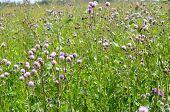 picture of creeping  - Wild purple Cirsium arvense  - JPG