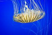 stock photo of nettle  - A beautiful Sea Nettle in deep blue water - JPG