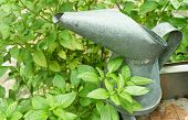 picture of pitcher  - Basil Green Leaf with An Old Metal Watering Can or Galvanized Pitcher in The Garden - JPG