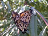 foto of monarch  - A pair of Monarch Butterflies copulating upon a leaf - JPG