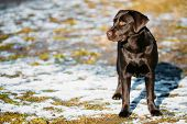 foto of chocolate lab  - Beautiful Brown Dog Lab Labrador Retriever Staying Outdoor In Spring - JPG